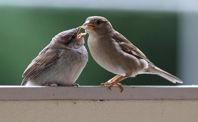 Ein Jung-Haussperling wird von einem anderen gefüttert