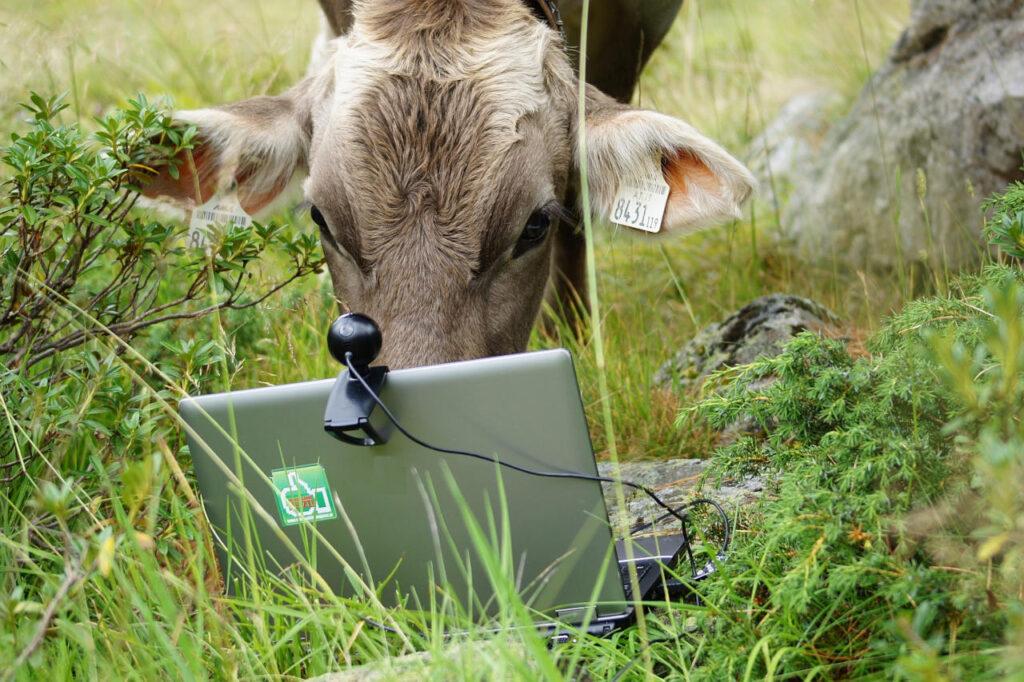 Eine Kuh schaut auf einen Notebookbildschirm mit Webcam